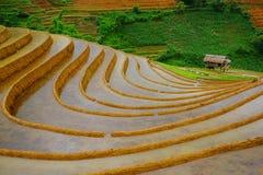Risaie sul terrazzo nella stagione delle pioggie alla MU Cang Chai, Yen Bai, Vietnam Immagini Stock