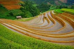 Risaie sul terrazzo nella stagione delle pioggie alla MU Cang Chai, Yen Bai, Vietnam Immagine Stock