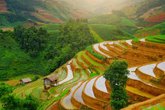 Risaie sul terrazzo nella stagione delle pioggie alla MU Cang Chai, Yen Bai, Vietnam Fotografia Stock Libera da Diritti