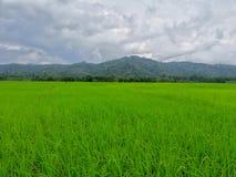 Risaie in Tailandia Fotografia Stock