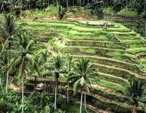Risaie a terrazze su Bali Fotografie Stock