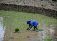 Risaie a terrazze sulla stagione della pioggia nel Vietnam fotografie stock libere da diritti