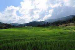Risaie verdi del terrazzo Fotografia Stock