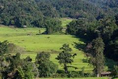 Risaie verdi del terrazzo di agricoltura Immagini Stock
