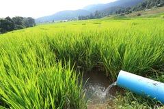 Risaie verdi del terrazzo di agricoltura della stagione Fotografie Stock Libere da Diritti