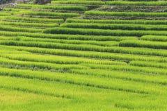 Risaie verdi del terrazzo di agricoltura della stagione Immagine Stock Libera da Diritti