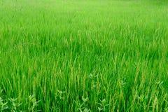 Risaie verdi della campagna Fotografie Stock