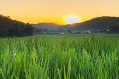 Risaie verdi della risaia di agricoltura Fotografia Stock