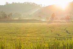 Risaie verdi della risaia di agricoltura Immagini Stock Libere da Diritti