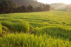 Risaie verdi della risaia di agricoltura Immagine Stock Libera da Diritti