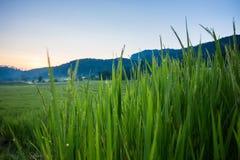 Risaie verdi della risaia di agricoltura Immagine Stock
