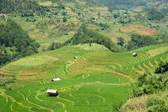 Risaie verdi e riso di agricoltura a terrazze sulla montagna alla S Immagini Stock