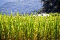 Risaie verdi nel Central Valley Fotografie Stock Libere da Diritti