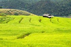 Risaie verdi nel Central Valley Fotografie Stock