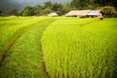 Risaie verdi nel Central Valley Fotografia Stock