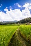 Risaie verdi nel Central Valley Fotografia Stock Libera da Diritti