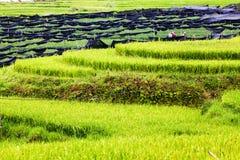 risaie verdi nel villaggio di Phin di tum, PA del Sa, Vietnam Fotografie Stock Libere da Diritti