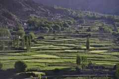 Risaie verdi sui terrazzi sul fianco di una montagna, agricoltura a terrazze Fotografia Stock Libera da Diritti
