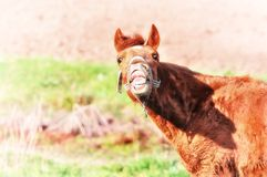 Risas divertidas de la cara del caballo loco imagen de archivo
