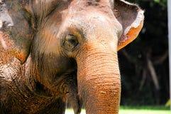 Risata dell'elefante immagini stock