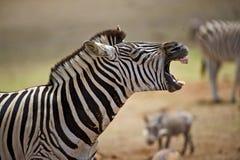Risata della zebra Immagini Stock Libere da Diritti
