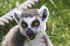 Risata delle lemure Immagini Stock Libere da Diritti