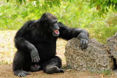 Risata dello scimpanzè Fotografie Stock Libere da Diritti