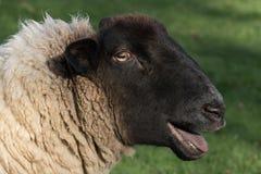 Risata felice delle pecore della commedia immagine stock