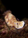 Risbecia pulchella, Nudibranch Stock Images