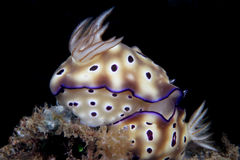 Risbecia tryoni nudi branch Royalty Free Stock Photo