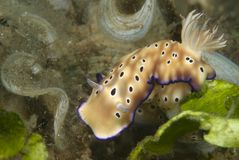 Risbecia Tryoni Nudibranch Royalty-vrije Stock Foto's