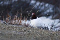 Riscaldamento maschio della pernice bianca Fotografia Stock