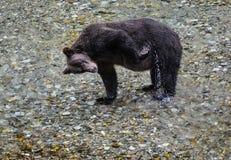 Risco do urso Foto de Stock Royalty Free
