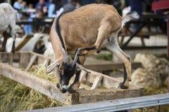 Risco engraçado da cabra Imagem de Stock