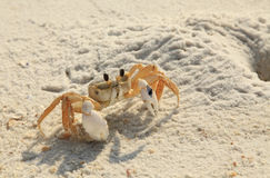 Riscos do caranguejo de Ghost fora de seu furo na praia branca de Florida da areia Fotos de Stock