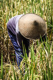 Rise Picker during Harvest Period - Bali,Indonesia Royalty Free Stock Photos