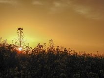 The rise of the rapeseed field royalty free stock images