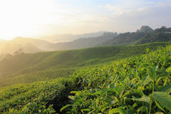 Rise of Tea. Sunrise at the tea plantation very beautiful light of nature Stock Photography
