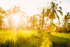 Rise terraces and coconut palms in Bali at sunrise or sunset royalty free stock photography