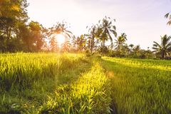 Rise terraces and tropical coconut palms in Bali at sunrise light. Rise terraces and tropical coconut palms in Bali stock photo