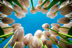 The rise of tulips. Stock Photo