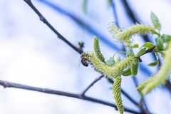 Risen blooming inflorescences male flowering catkin or ament on a Salix alba white willow in early spring before the leaves. Colle. Ct pollen from flowers and Stock Image