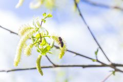 Risen blooming inflorescences male flowering catkin or ament on a Salix alba white willow in early spring before the leaves. Colle. Ct pollen from flowers and Royalty Free Stock Images