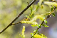Risen blooming inflorescences male flowering catkin or ament on a Salix alba white willow in early spring before the leaves. Colle. Ct pollen from flowers and Royalty Free Stock Photos