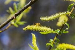 Risen blooming inflorescences male flowering catkin or ament on a Salix alba (white willow) in early spring before the leaves. Col. Lect pollen from flowers and Stock Photos