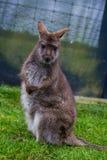 Riserva del wallaby in Waimato, Nuova Zelanda fotografie stock libere da diritti