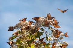 Riserva di biosfera della farfalla di monarca, Messico immagine stock libera da diritti