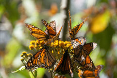 Riserva di biosfera della farfalla di monarca, Messico fotografia stock