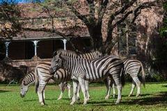 Riserva faunistica domestica delle zebre del castello Immagini Stock
