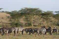 Riserva Ngorongoro degli zebres dell'Africa Tanzania Fotografie Stock Libere da Diritti